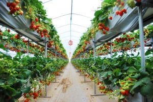 yangsuri-strawberry-farm-1